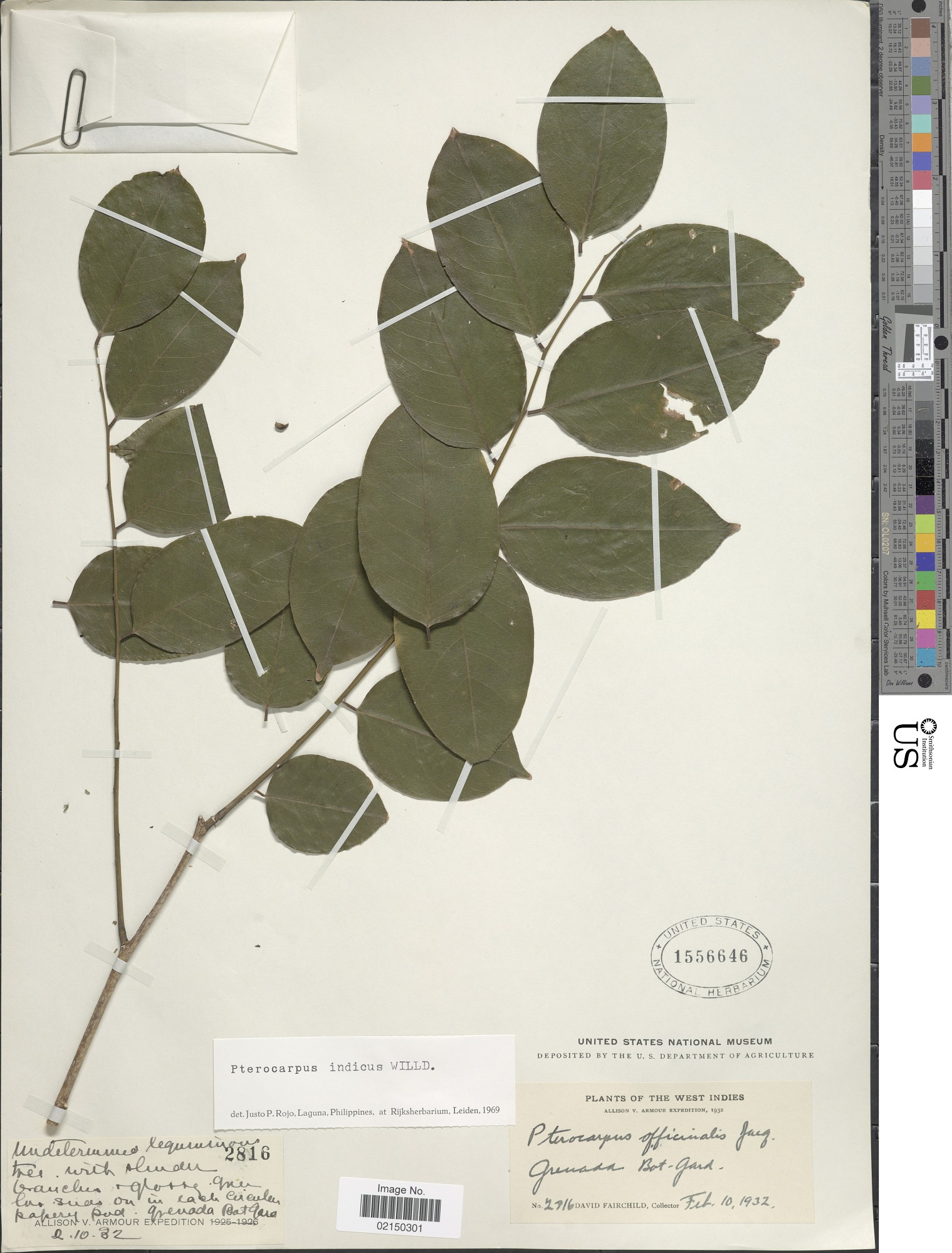images for Pterocarpus indicus Willd.