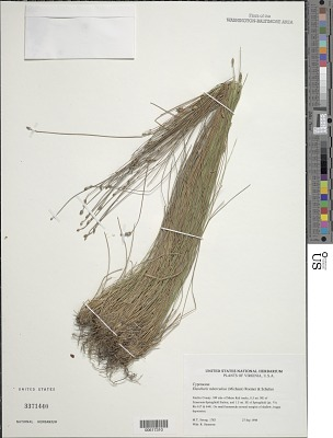 Eleocharis tuberculosa (Michx.) Roem. & Schult.