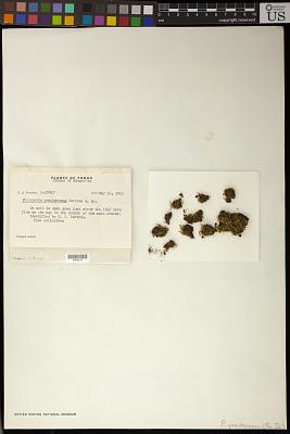 Philonotis yunckeriana E.B. Bartram