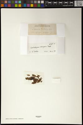 Ceratolejeunea rubiginosa Steph.