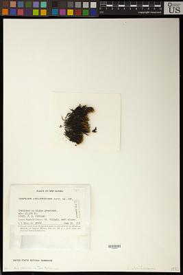 Campylopus atrofuscescens E.B. Bartram