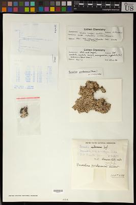 Parmelia pindarensis D.D. Awasthi & Singh