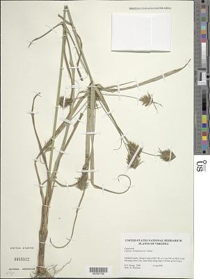 Cyperus retrofractus (L.) Torr.