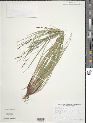 Carex communis L.H. Bailey