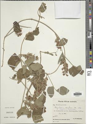 Rhynchosia densiflora (Roth) DC.