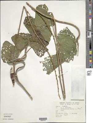 Pachyrhizus erosus (L.) Urb.