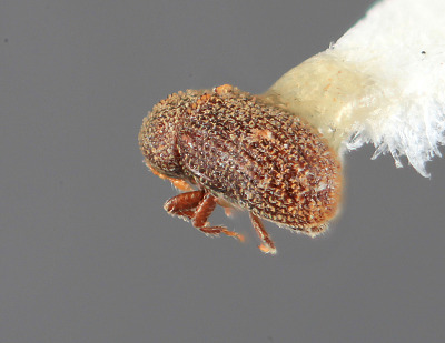 Liparthrum arizonicum