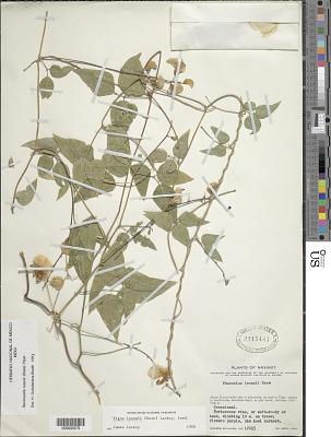 Ramirezella lozanii (Rose) Piper