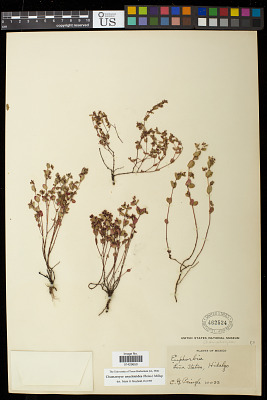 Euphorbia anychioides Boiss.