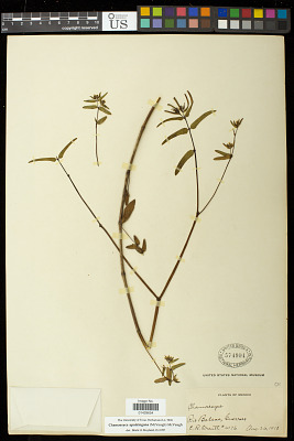 Euphorbia apatzingana McVaugh