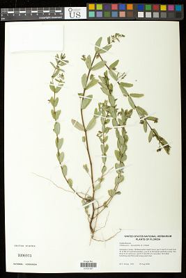 Euphorbia hyssopifolia L.