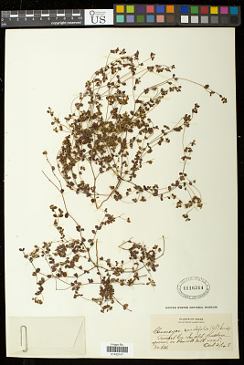 Euphorbia cordifolia C.A. Mey. & Boiss