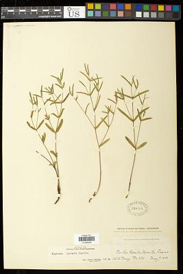 Euphorbia angusta Engelm. in Emory