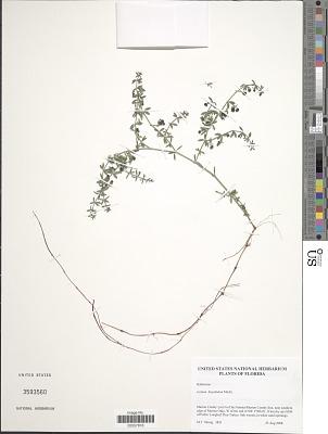 Galium hispidulum Michx.