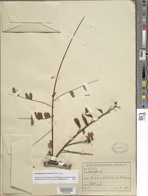 Caesalpinia decapetala (Roth) Alston