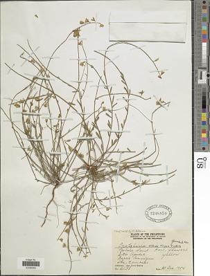 Crotalaria albida B. Heyne ex Roth