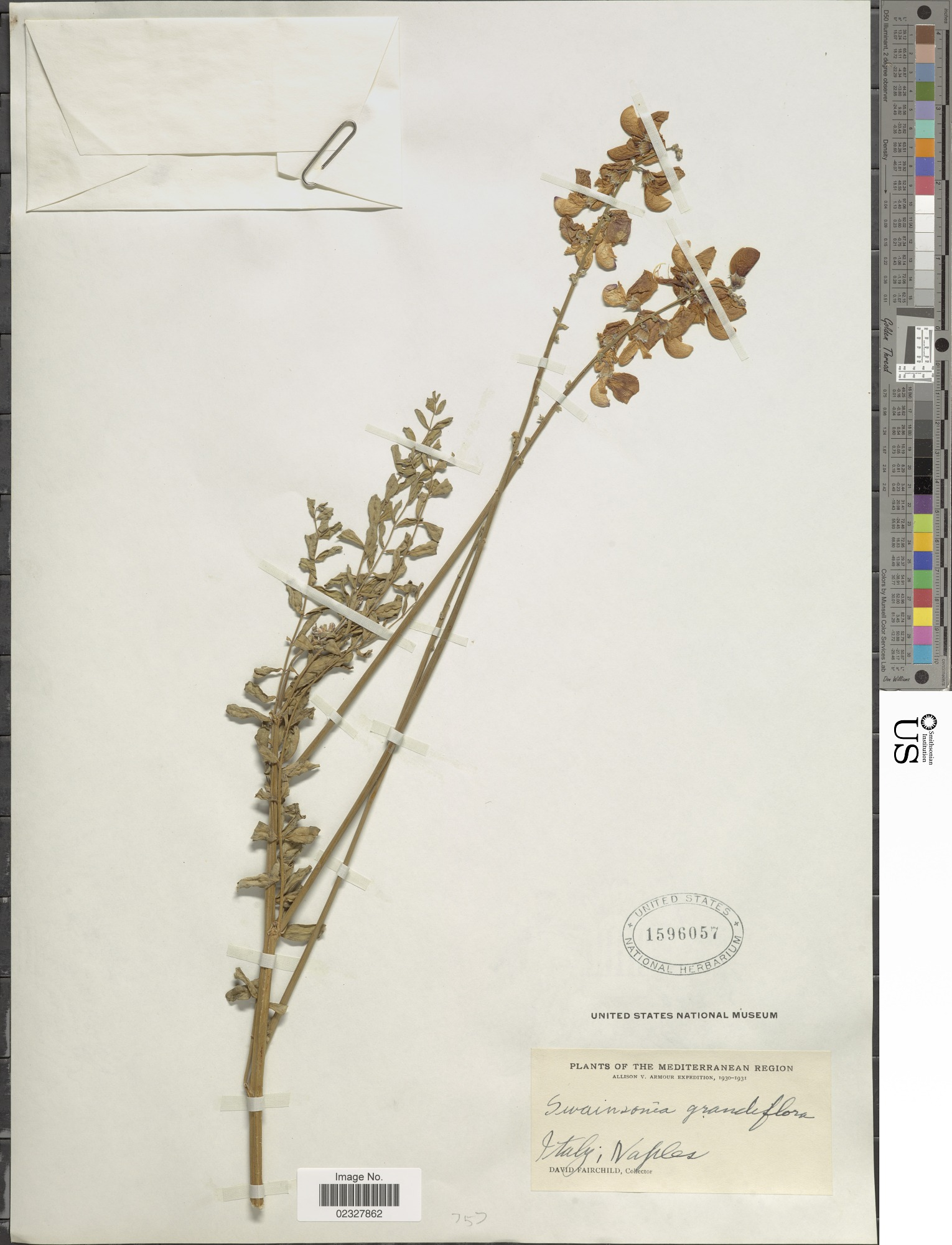 images for Swainsona grandiflora R. Br.