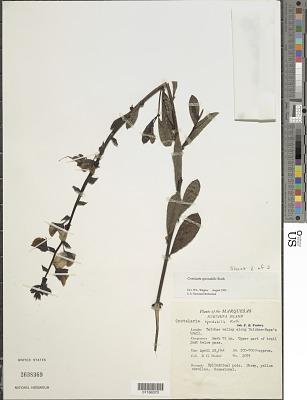 Crotalaria spectabilis Roth