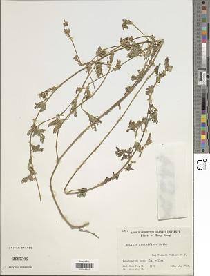 Smithia geminiflora Roth