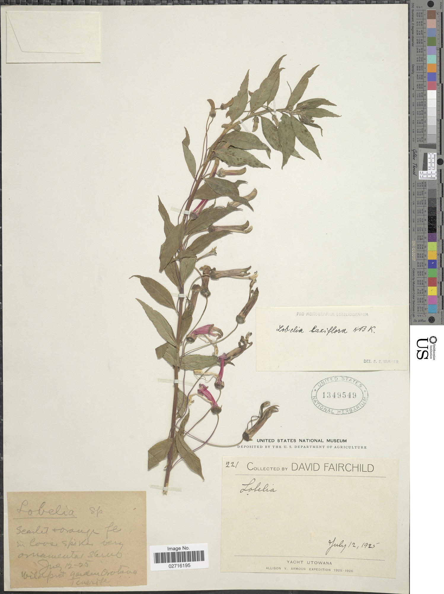 images for Lobelia laxiflora Kunth