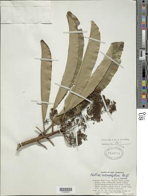 Phelline macrophylla Baill.