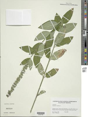 Teucrium canadense L.