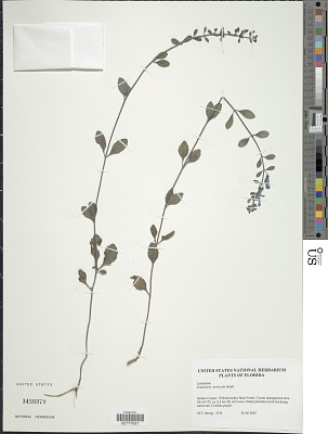 Scutellaria arenicola Small