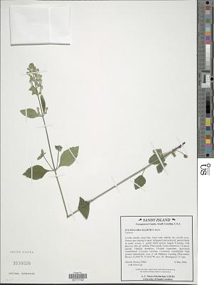 Scutellaria elliptica var. typica