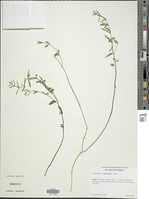 Scutellaria angustifolia Pursh