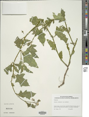 Solanum carolinense L.