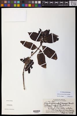 Kadua acuminata Cham. & Schltdl.
