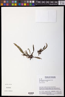 Micropolypodium truncicola (Klotzsch) A.R. Sm.