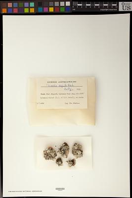 Parmelia defecta Hale