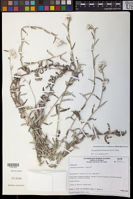 Stenophalium almasense D.J.N. Hind