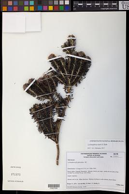 Lychnophora morii H. Rob.