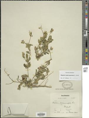 Blepharis maderaspatensis (L.) B. Heyne ex Roth