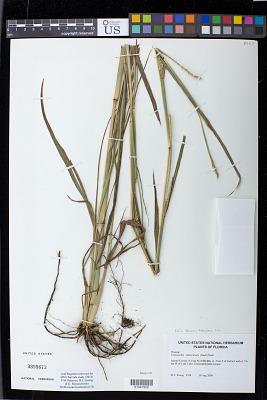 Manisuris tuberculosa Nash