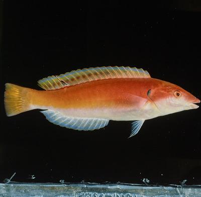 Hologymnosus rhodonotus Randall & Yamakawa