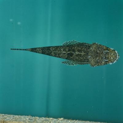 Platycephalidae