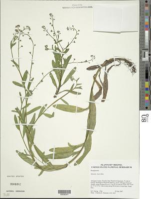 Myosotis laxa F. Lehm.