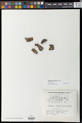 Caloplaca alaskensis Wetmore