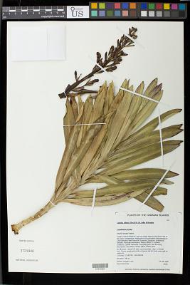 Lobelia villosa (Rock) H. St. John & Hosaka