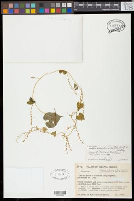 Dioscorea sumiderensis B.G. Schub. & O. Téllez