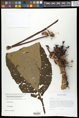Trichodrymonia binata (Wiehler) M.M. Mora & J.L. Clark