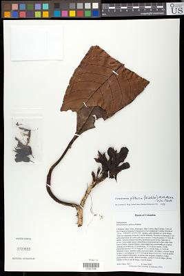 Trichodrymonia gibbosa (Wiehler) M.M. Mora & J.L. Clark