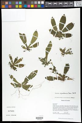 Napeanthus apodemus Donn. Sm.