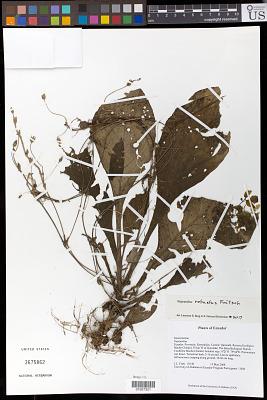 Napeanthus robustus Fritsch