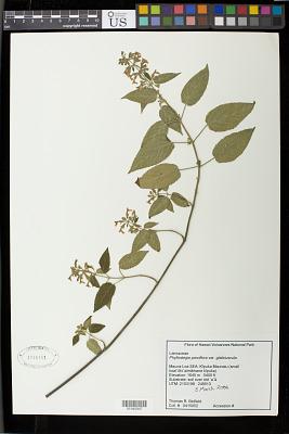 Phyllostegia parviflora var. glabriuscula A. Gray