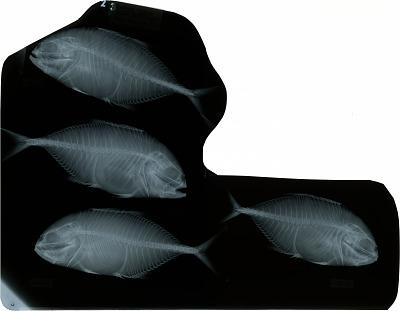 Caranx hippos