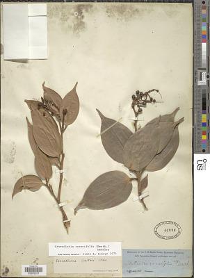 Cavendishia crassifolia (Benth.) Hemsl.